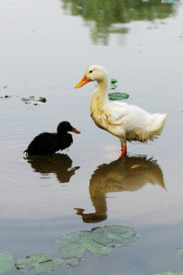 Duck-Ugly Duckling